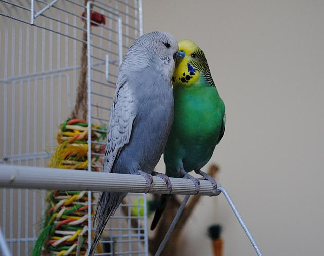 New budgie: mites/scaly face? | Budgerigars Forum